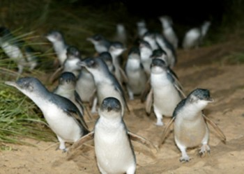 penguin-parade